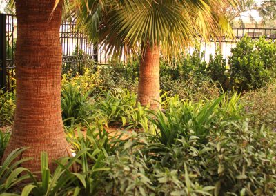 Front Washingtonia